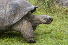 Galapagos  Tortoise - turtle Royalty Free Stock Images