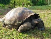 Galapagos tortoise. Turtle Galapagos darwin islands wildlife Royalty Free Stock Photography
