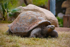 Galapagos tortoise turtle. Giant Galapagos tortoise at the Phoenix Zoo royalty free stock photography