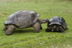 Galapagos  Tortoise - turtles Stock Images