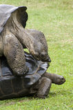 Galapagos  Tortoise - turtles Stock Photos