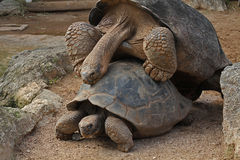 Galapagos Tortoise. Two Galapagos Tortoises, one on top of the other Royalty Free Stock Photo