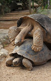 Galapagos Tortoise. Two Galapagos Tortoises, one on top of the other Stock Photo