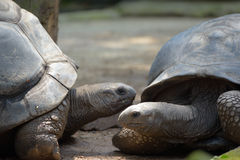 Galapagos tortoise Royalty Free Stock Photography
