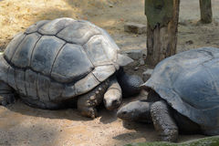 Galapagos tortoise Stock Photography