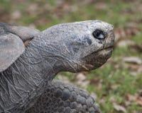 Galapagos Tortoise Up zakończenie Obrazy Royalty Free