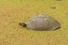 Galapagos Tortoise w Płytkim stawie Obraz Stock