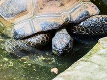 Galapagos Tortoise w zoo Obrazy Royalty Free