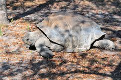 Galapagos Tortoise Walking Royalty Free Stock Photo