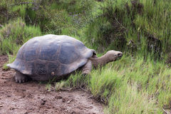 Galapagos tortoise z porysowaną skorupy łasowania trawą Zdjęcie Stock