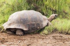 Galapagos tortoise z trawą w swój belfrze Fotografia Stock