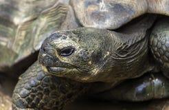Galapagos Tortoise zbliżenie zdjęcie royalty free