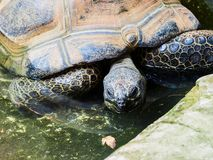 Galapagos Tortoise in zoo. In Vienna Royalty Free Stock Images