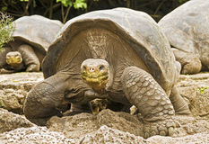 Galapagos Tortoises Approaching Royalty Free Stock Photography