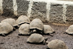 Galapagos tortoises Royalty Free Stock Images