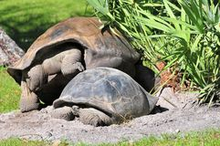 Galapagos tortoises Royalty Free Stock Photography