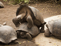 Galapagos Tortoises Mating Stock Image