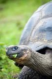 Galapagos turtle Royalty Free Stock Image