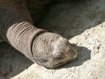 Galapagos turtle. Portrait of the big turtle lying on sand Stock Image
