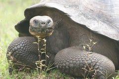 Galapagos turtle Stock Photos
