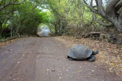 Galapagos turtle cross the road path leading through a forest royalty free stock photos