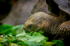 Galapagos turtle in floreana island. Giant galapagos turtle eating leaves in floreana island ecuador closeup stock image