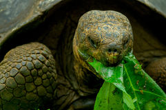 Galapagos turtle in floreana island. Giant galapagos turtle eating leaves in floreana island ecuador closeup royalty free stock photos