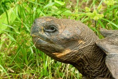 Galapagos Turtle. The head of a Galapagos turtle, Galapagos islands, Ecuador, South America Royalty Free Stock Image