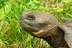 Galapagos Turtle Royalty Free Stock Image