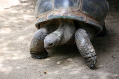 Galapagos Turtle Stock Photo