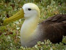 Galapagos Waved Albatross Nesting royalty free stock photography