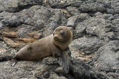 galapagos wysp lwa morze Fotografia Royalty Free