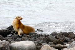 galapagos wyspy lwa morze Obraz Royalty Free