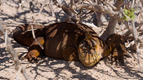 Galapagos Yellow Land Iguana Royalty Free Stock Image