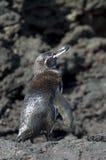 Galapagospinguin, Galapagos Penguin, Spheniscus mendiculus royalty free stock image