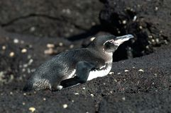 Galapagospinguin, Galapagos pingwin, Spheniscus mendiculus obrazy stock