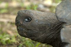Galapagosreuzenschildpad, Galapagos giant tortoise, Chelonoidis. Galapagosreuzenschildpad, Galapagos giant tortoise royalty free stock photography