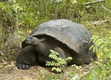 Galapagosreuzenschildpad, Galapagos giant tortoise, Chelonoidis. Galapagosreuzenschildpad, Galapagos giant tortoise stock images
