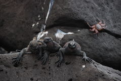 Galapaogs Iguanas royalty free stock photography