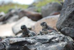 Galapaogs Iguanas stock photo