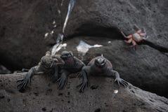 galapaogs iguany Fotografia Royalty Free