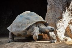Galapgos Earth Tortoise Turtle Stock Images
