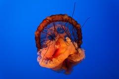 Galaretowa ryba Zdjęcie Royalty Free