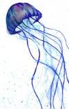Galaretowa ryba Obrazy Royalty Free