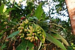 Galasowe lądzieniec infekować na gospodarz roślinie, lasu tropikalnego drzewo fotografia royalty free