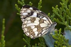 galathea λευκό melanargia Στοκ Εικόνες