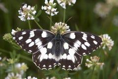 galathea λευκό melanargia Στοκ Εικόνα