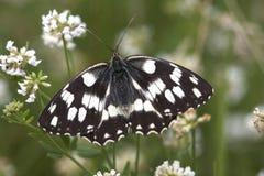 galathea λευκό melanargia Στοκ Φωτογραφία