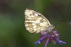 galathea λευκό melanargia Στοκ εικόνες με δικαίωμα ελεύθερης χρήσης