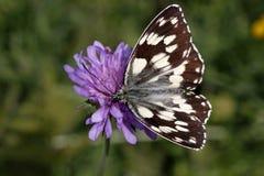 Galathea van Melanargia, Marmer Witte vlinder Stock Afbeeldingen